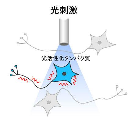 オプトジェネティクス光刺激の図